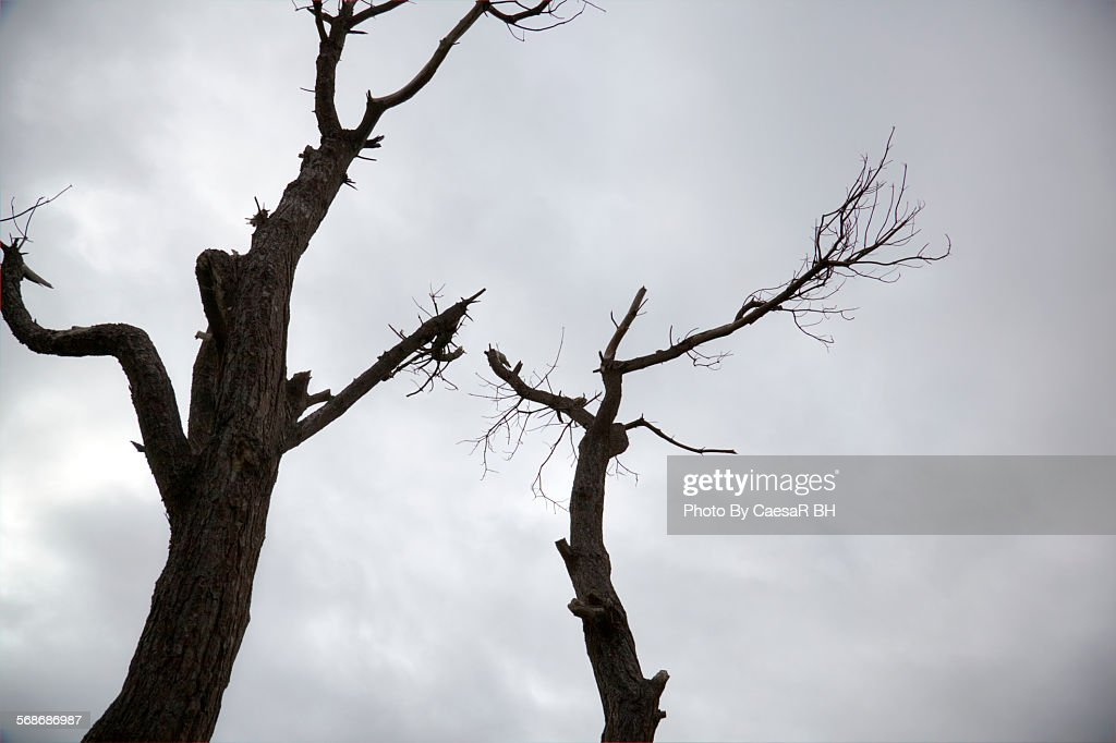 Two trees against gray sky : Stock Photo