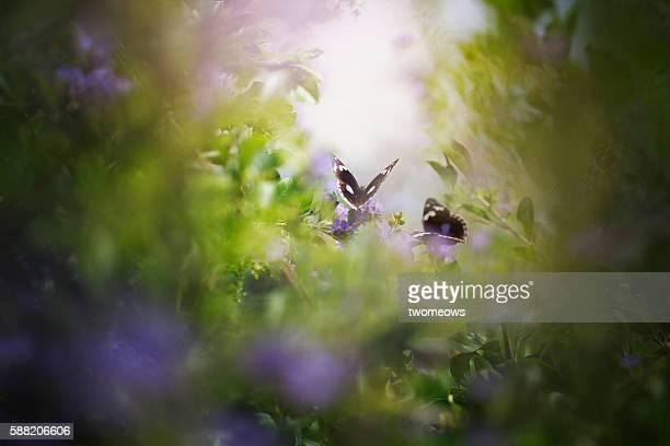 Two tropical butterflies in soft dreamy effects.