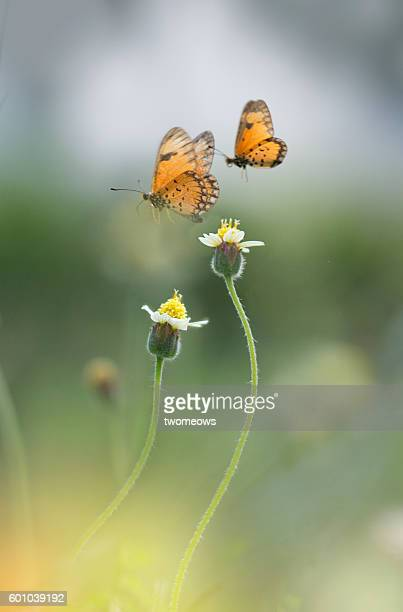 Two tropical butterfly flying mid air on top of two flowers.