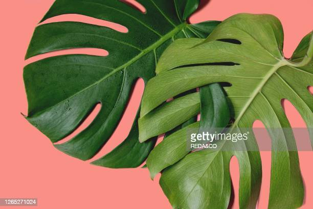 Two tropical jungle Monstera leaves with water spots isolated over coral background.