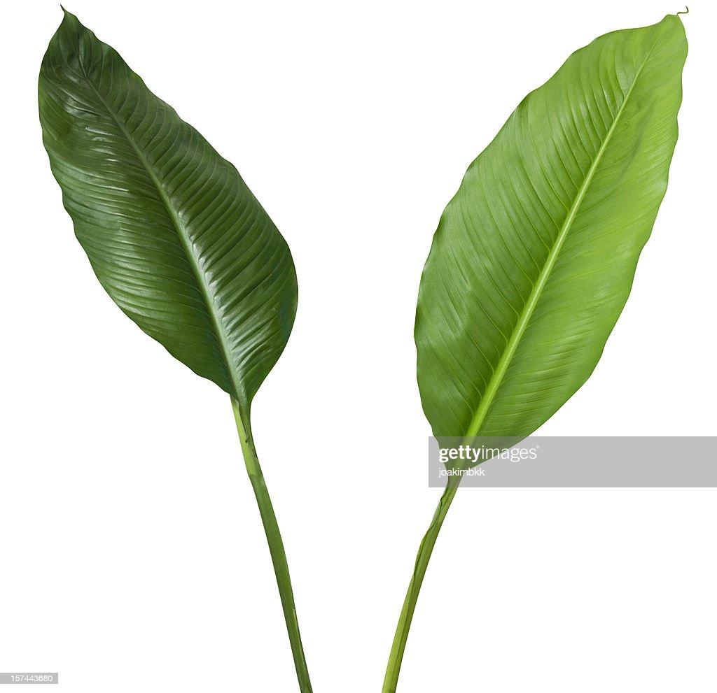 熱帯植物に囲まれた 2 つの白で分離、クリッピングパス : ストックフォト