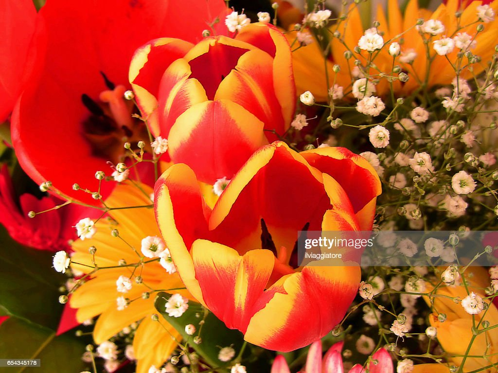 Two Tulip Flowers With Two Colors Orange And Yellow Between Others ...