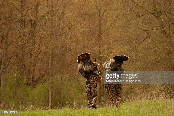 two turkey hunters walking and carrying dead turkeys - turkey hunting stock photos and pictures