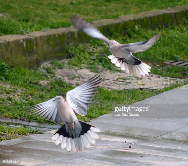 two turtle doves flying - turtle doves stock photos and pictures