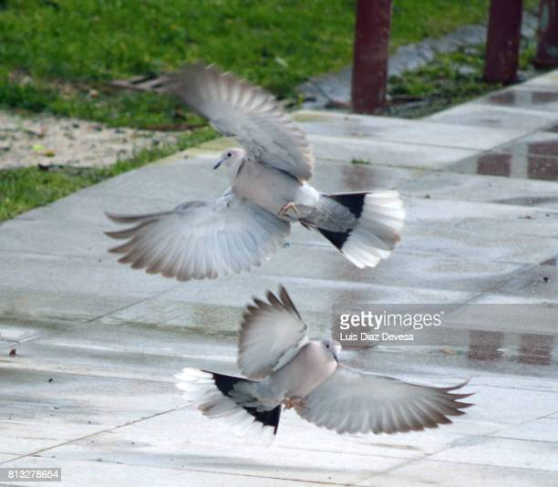 two turtle doves - turtle doves stock photos and pictures