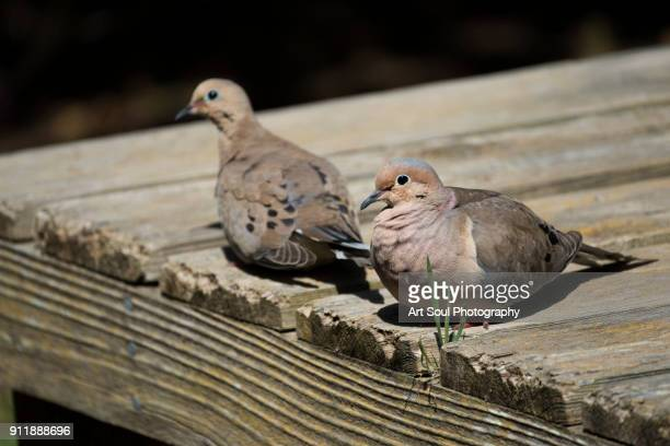 two turtle doves sitting on a wooden dock - turtle doves stock photos and pictures