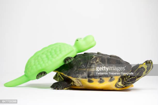 Two turtles copulating. Animal sex