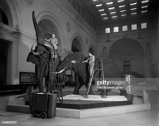 Two unidentified men members of the Maintenance staff use vacuums to clean the African Elephants in Stanley Field Hall at the Field Museum Chicago...