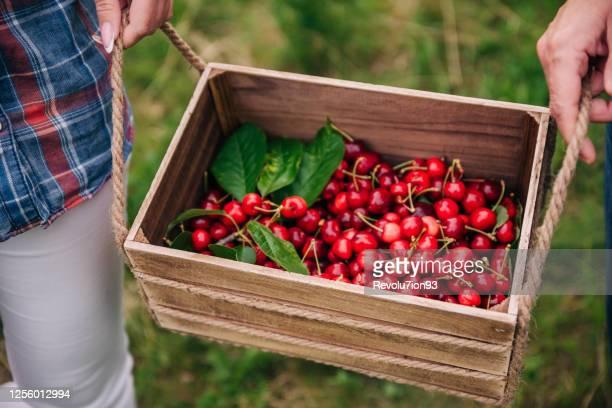 2人の認識できない女の子が果樹園で桜の実でいっぱいのバスケットを保持しています - サワーチェリー ストックフォトと画像