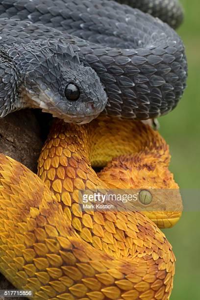 Two Venomous Bush Viper Snakes Coiled to Strike