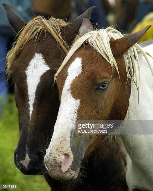 "Two very similar looking wild Assateague ponies, one with the blue eyes much like the horse famous in the book ""Misty of Chincoteague"" rest shortly..."