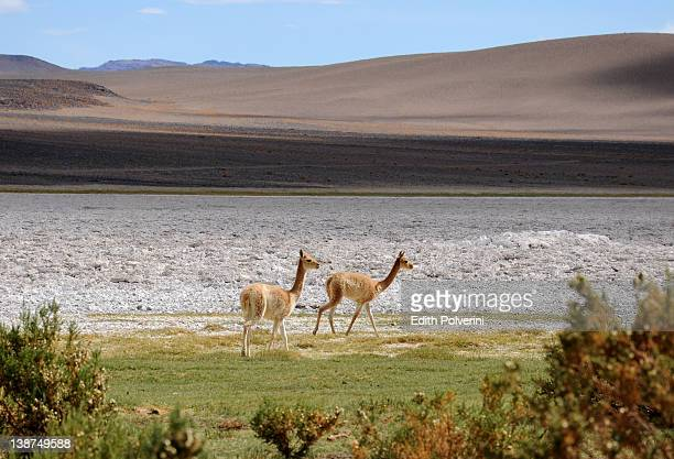 Two vicunas walking near salt