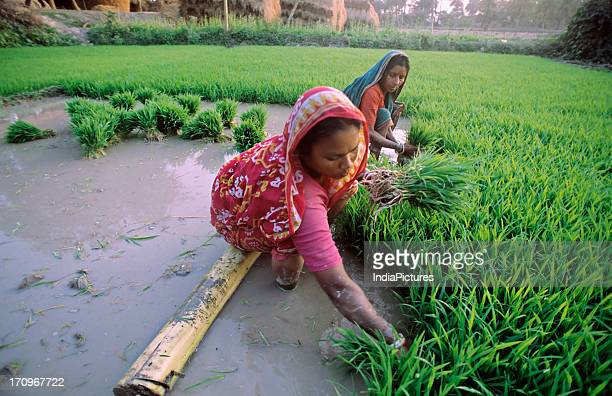 Two village women planting paddy plants in a field during the rainy season near Kolkata West Bengal India