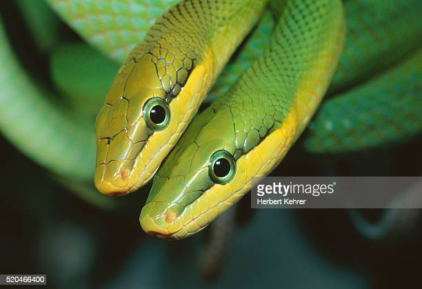 Two vipers mating