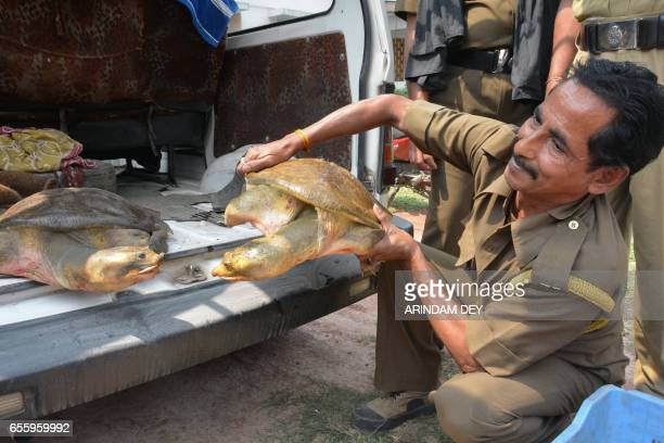 Two vulnerable Indian freshwater turtles look at each other as one is picked up by a forest ranger after the pair were rescued from a market where...