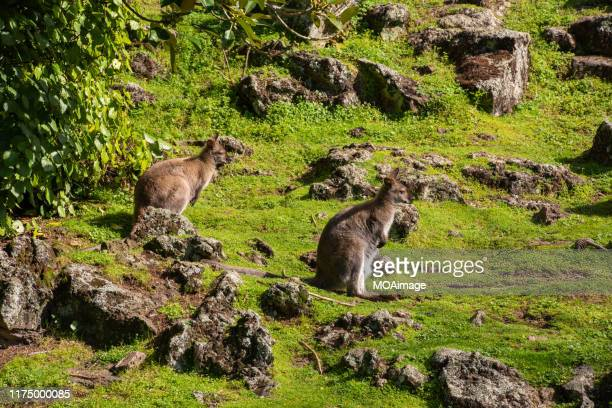 two wallabies, - north island new zealand stock pictures, royalty-free photos & images