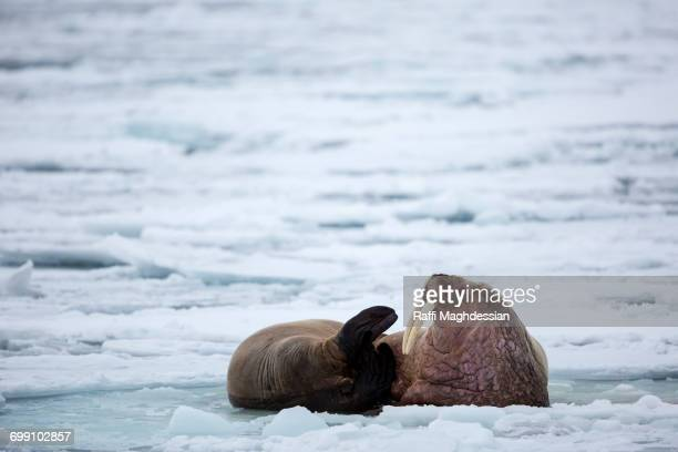 Two walruses on pack ice, Odobenus Rosmarus, Spitsbergen, Svalbard
