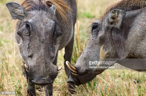 two warthog - facocero foto e immagini stock