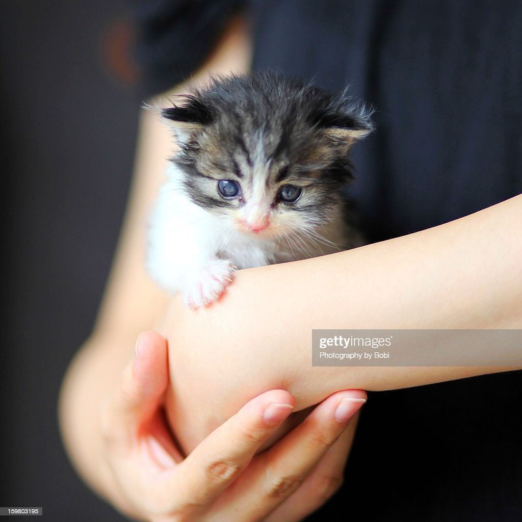 Two Weeks Cute Little Cat Hold In Girls Arms Stock
