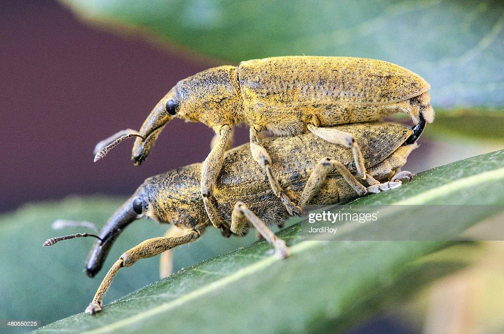 Dois weevils (Lixus angustatus) acasalamento : Foto de stock