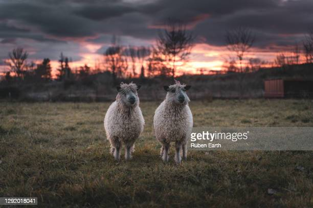 two wensleydale sheep portrait - domestic animals stock pictures, royalty-free photos & images