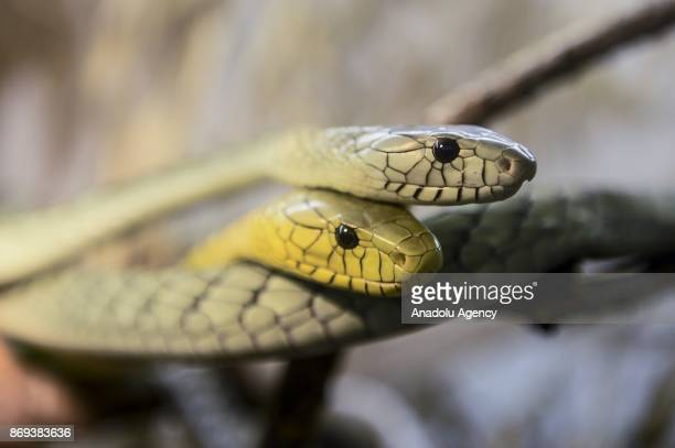 Two West African Green Mamba are seen at Neven Vrbanic snake collection Zagreb Croatia on November 02 2017 Neven Vrbanic is a Croatian snake...