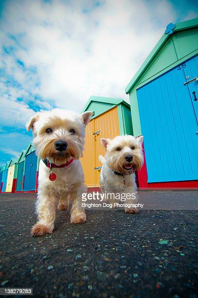 two west highland terriers in front of beach huts - ホーブ ストックフォトと画像