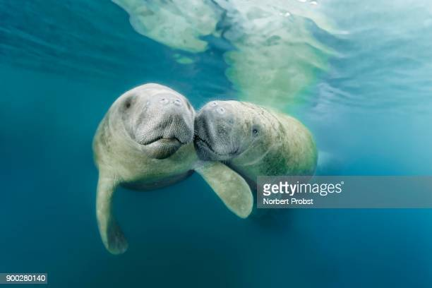 two west indian manatees (trichechus manatus), couple, three sisters springs, manatee sanctuary, crystal river, florida, usa - florida manatee stock photos and pictures