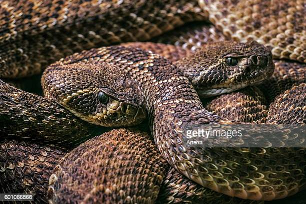 Two Western diamondback rattlesnakes / Texas diamondback rattlesnake curled up native to the United States and Mexico