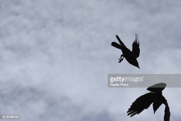 Two Western jackdaws pictured flying at Madrid zoo where they find food easily According Seo Birdlife the Spanish Society of Ornithology The...