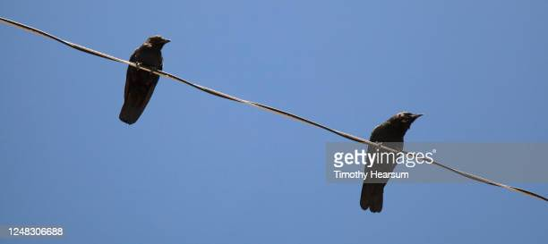 two western ravens (corvus corax) rest on a power line, against a clear blue sky - timothy hearsum stock pictures, royalty-free photos & images
