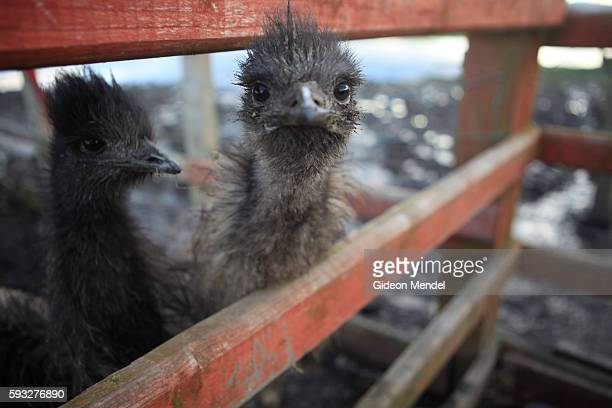 Two wet and forlorn emus at one of the many flooded farms in North Wales Recent floods caused huge economic damage to farms in the area They are part...