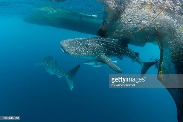 Two whale sharks trying to feed from the fishing nets hanging from a floating fishing platform, Cenderawasih Bay, West Papua, Indonesia.