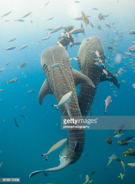 two whale sharks with a scuba diver - whale shark stock pictures, royalty-free photos & images