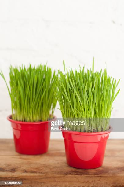 Two wheatgrass plants potted in aluminium vases