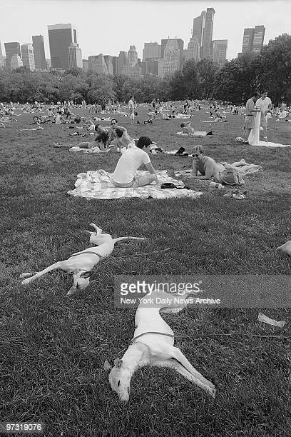 Two whippets Prozac and Diva sleep with ower Steven Smith in Central Park after walking over 9 miles in the AIDS walk