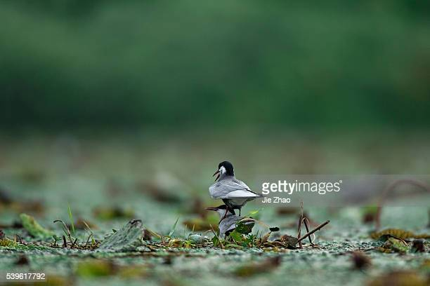 Two whiskered terns play in a lake in Jiujiang Jiangxi province China on 13th June 2015