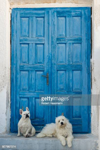 Two white dogs lying in front of blue wooden door, Megalochori, Santorini, Cyclades, Greece