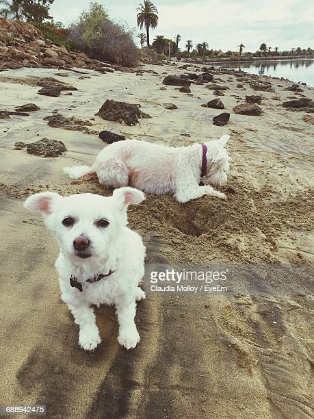 two white dogs on beach - sandy molloy stock photos and pictures
