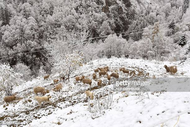 Two white dogs protect sheep feeding in a field covered in the snow in Celliers Col de la Madeleine in the French Alps on November 6 2017 / AFP PHOTO...
