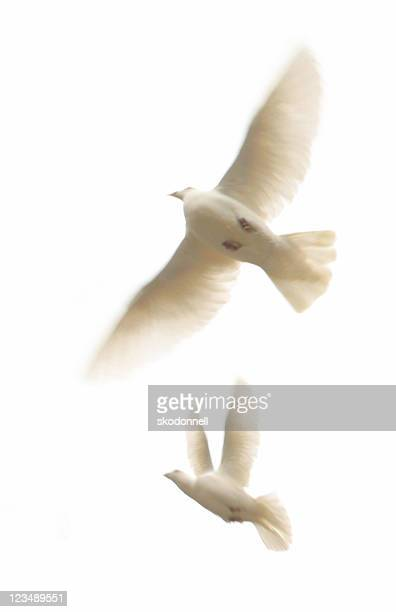 two white doves - dove bird stock pictures, royalty-free photos & images
