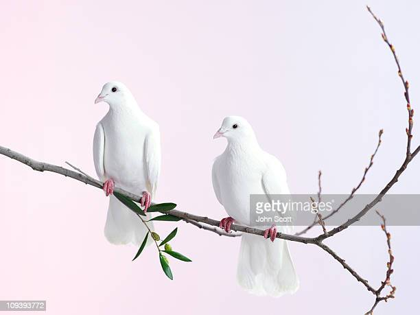 two white doves with olive branch - perching stock pictures, royalty-free photos & images