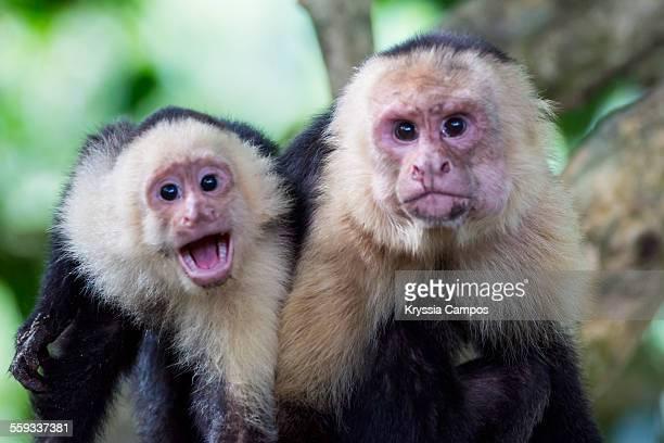 two white - faced capuchin monkeys on tree - mono capuchino fotografías e imágenes de stock