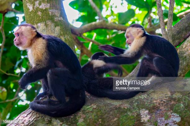 Two White faced Capuchin Monkeys