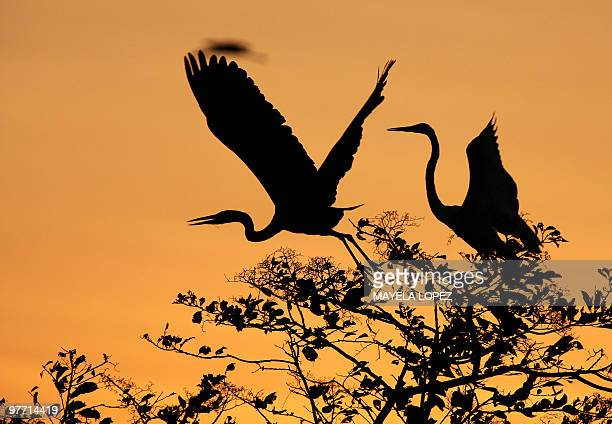 Two White Herons spread their wings February 21, 2010 in the Palo Verde National Park, on the Guanacaste province, 240 north from San Jose, a place...