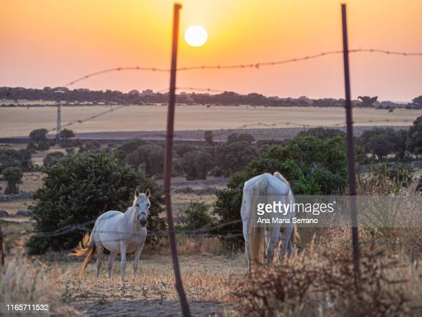 Two white horses behind a fence with barbed wire at sunset on the dehesa in Salamanca