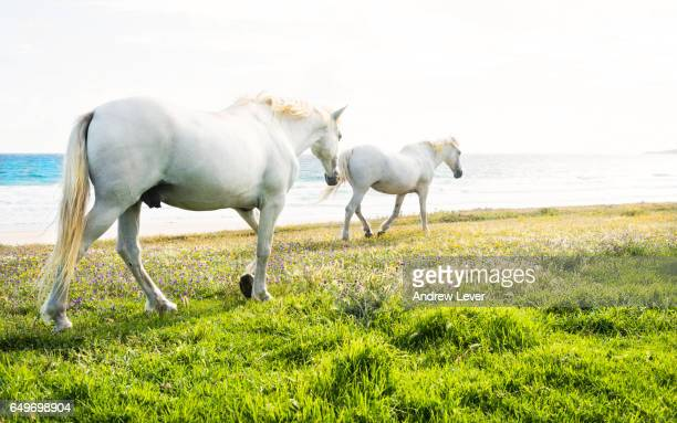 two white horses - tarifa stock photos and pictures