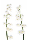 two fragrant white lily valley flowers