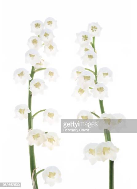 two white lily of the valley flowers together on white. - lily of the valley stock pictures, royalty-free photos & images