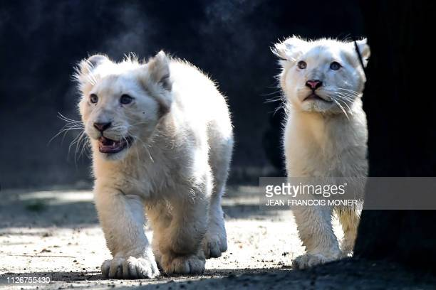 Two white lion cubs fourmonths old are pictured at the zoo in La Fleche northwestern France on February 22 2019
